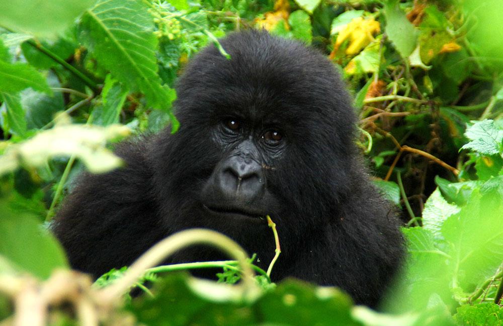 Gorilla ZGF