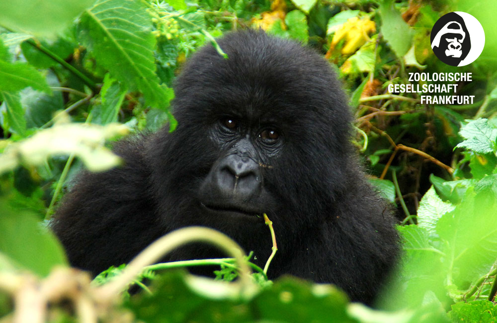 ZGF Gorilla Projekt