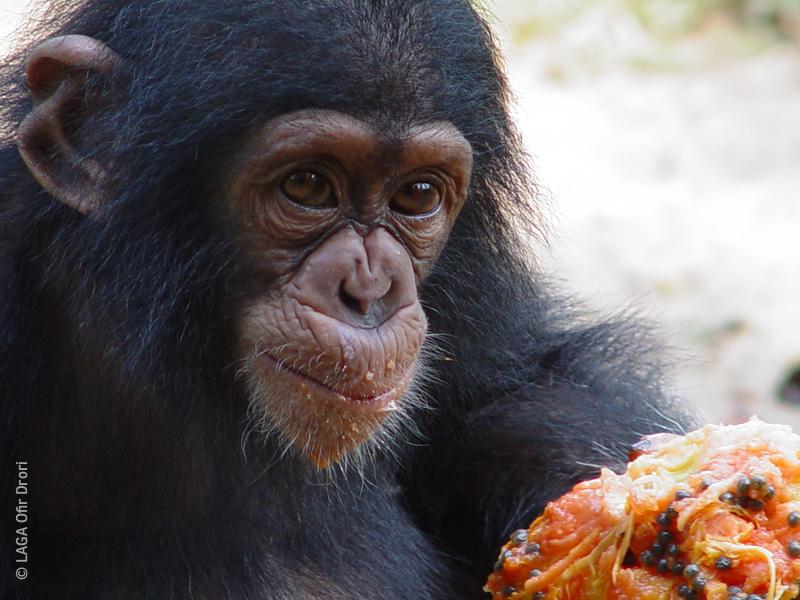 Chimp Laga