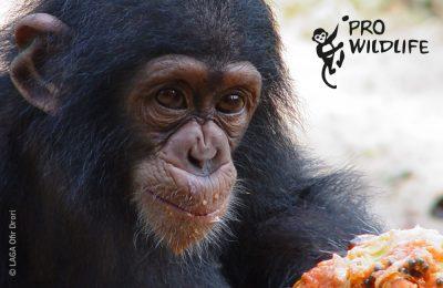 Schimpanse Laga Pro Wildlife