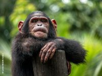 Chimp Limbe