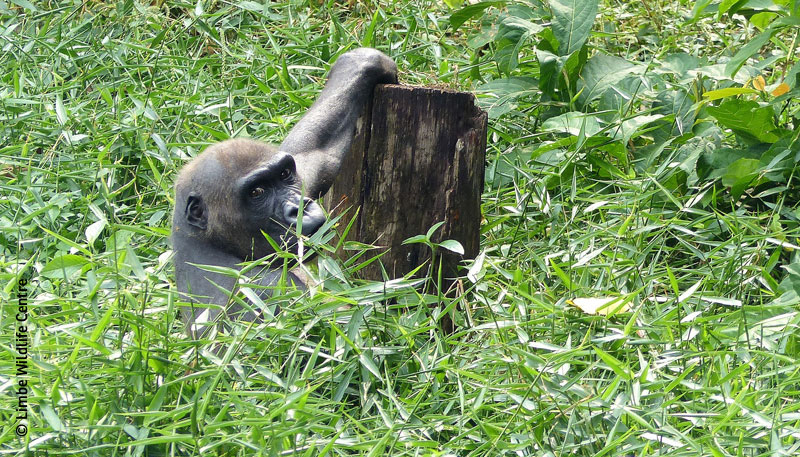 Gorilla Limbe
